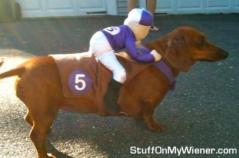 Dachshund jockey!                                                                                                                                                                                 More