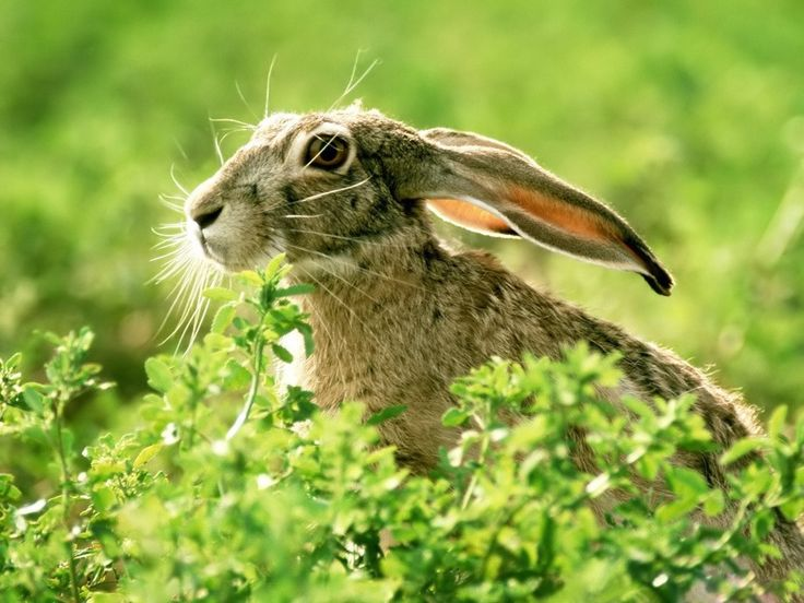 Hare - wallpaper download