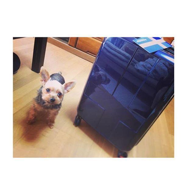 11/24  . . こないだ実家から 新品キャリーバッグを持って帰りました! . . そう、東京に行くための🏃♀️💨 . 新幹線とか今から予約するんだけど 気持ちはもうすでに東京ですww . はじめて2人で遠くに行きます! . 今までは関西や九州までしかなかったから😁☘ . 楽しみすぎて....❤️ . . ついでにチョコちゃんも一緒にパシャリ📸 . カメラを向けるとかならず入ってくる 写りたがりやのチョコ🐶 . かわいいね!❤️ . #キャリーバッグ #東京旅行 #楽しみ #もう少し先 #beppinten #犬 #愛犬 #Yorkie #ヨーキー #ヨークシャテリア #ちび #6歳 #メス♀ #写りたがり #目立ちたがり #甘えん坊 #かわいい