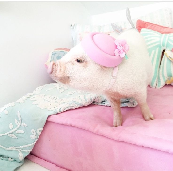 Best Pigs For Sale Ideas On Pinterest Pet Pigs For Sale - Adorable pig whos grown up with dogs believes shes a puppy too