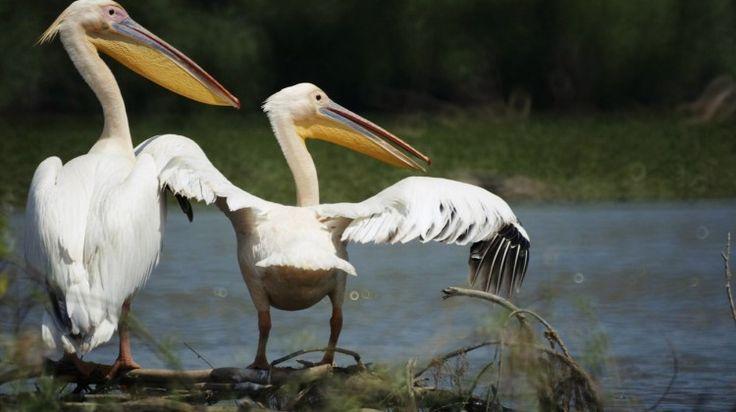 poze pelicani