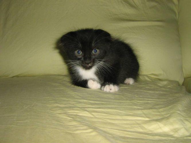 Scottish Fold X Munchkin Kittens Munchkin Kitten Scottish Fold Munchkin Kittens For Sale