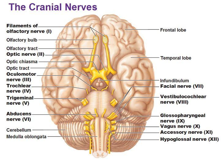 Diagram Of Nerves In Brain Illustration Of Wiring Diagram