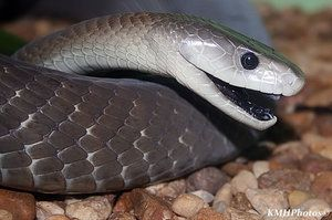 A single bite from a Black Mamba can kill up to 20 to 25 grown men. A bite from a Black Mamba is 100% fatal unless anti-venom is given in time. Death can result between 15 minutes and 3 hours depending on the nature of the bite. This involves factors as such as location of the bite, amount of venom injected and penetration of one or both fangs.