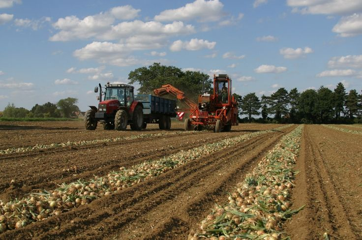 Onions! Harvesting onions for Tracklements #Onions #Tracklements #Harvest