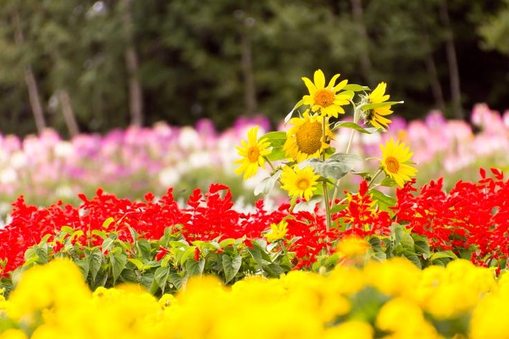 Sunflower in a garden at Biei, Hokkaido.