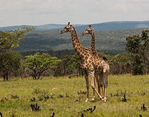 Kameelperde by Leobo Privaat Wildreservaat in Limpopo.