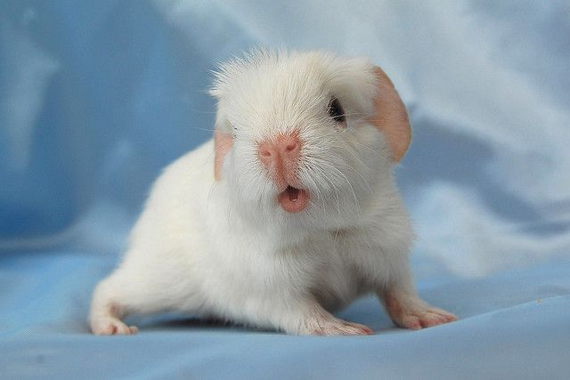 Baby guinea pig!: Babies, Guinea Piggies, Guineapigs, Adorable Animals, Google Search, Things, Baby Piggie, Baby Guinea Pigs, Piggy Lips