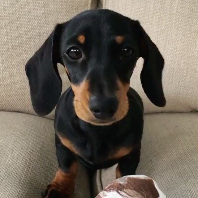 HICCUPS!  #SoundOn #CutestThingEver #SausageDogCentral @martha_dachshund