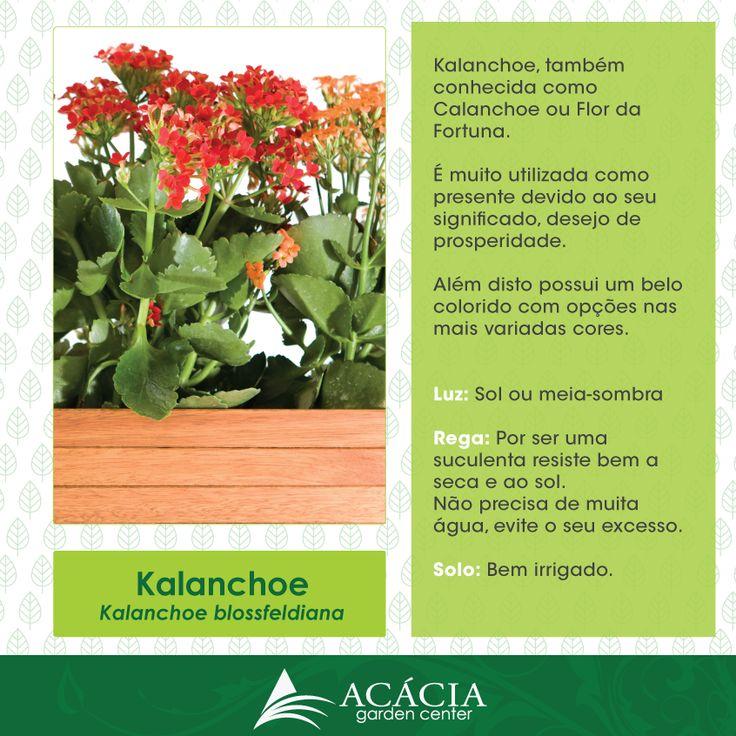 141126-kalancho-ou-flor-da-fortuna-insta-acacia-garden-center-rio-de-janeiro-rj-horto-chacara-plantas-vasos-jardinagem-paisagismo-decoracao-