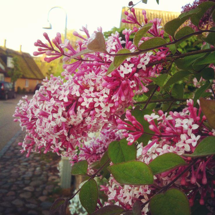 Syren. Syringa. Lilac. Sletten, Humlebæk, Denmark.