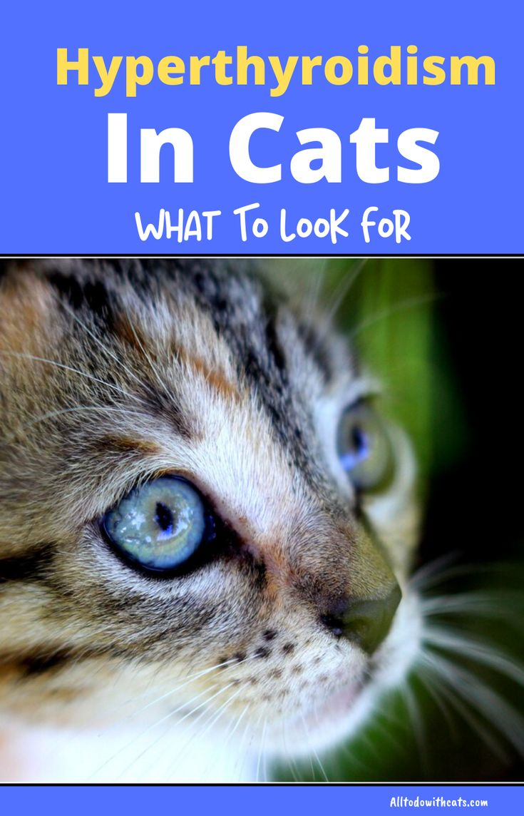 What Is Hyperthyroidism In Cats And Can It Be Cured? Cat