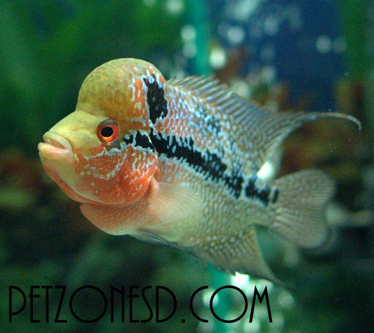 93 best images about flowerhorn on pinterest horns news for Cichlid fish food