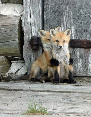 """Foxes: """"These two are in such rapport, in front of the old barn door."""" (Written By: Lynn Chateau © )"""
