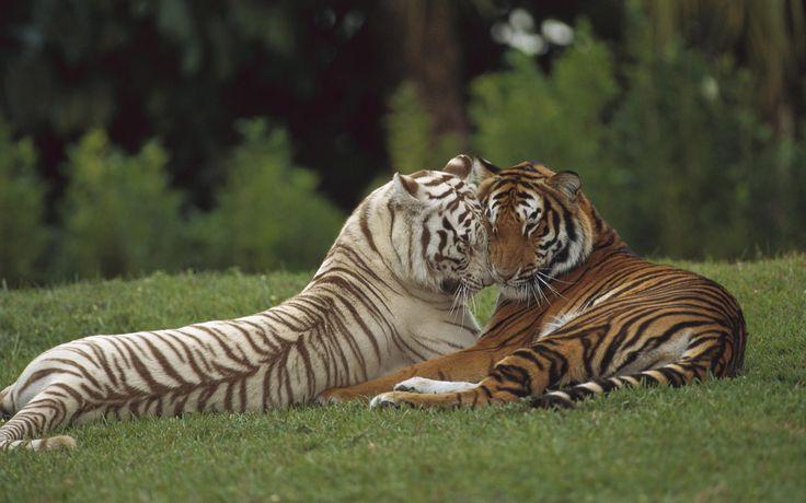 White Tiger & Orange Tiger