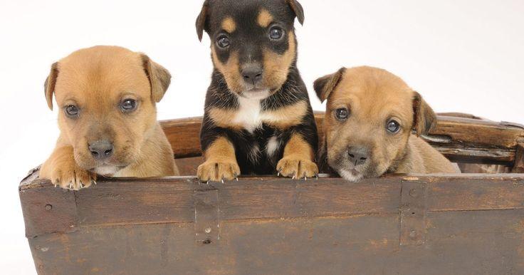 Cómo hacer una caja de parto para perros. Es una alegría tener cachorritos en la casa. Sin embargo, puede resultar tedioso asegurar la protección y comodidad de la nueva madre y sus crías, pues para ello debes construirles una buena caja de parto.