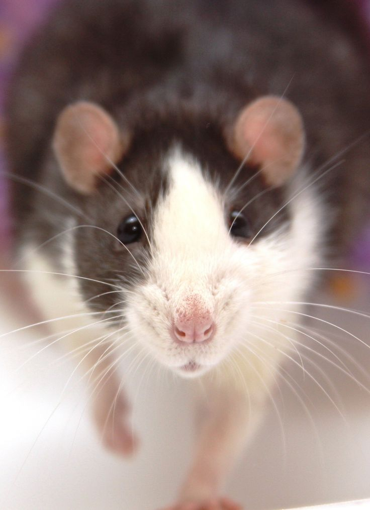 Thinking of making a rattie blog. Let me know if you would read it. There would be rattie tips and tricks and all sorts of fun things and resources to help you rat parents or future rat owners.
