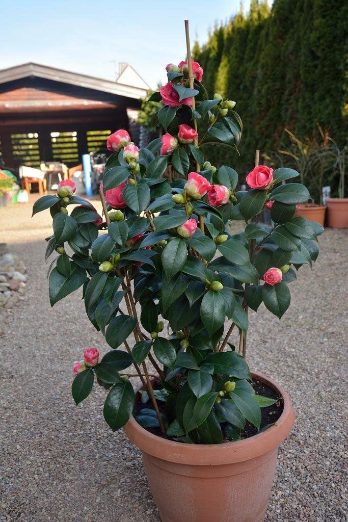 M s de 1000 ideas sobre flores lindas en pinterest for Como cultivar plantas ornamentales