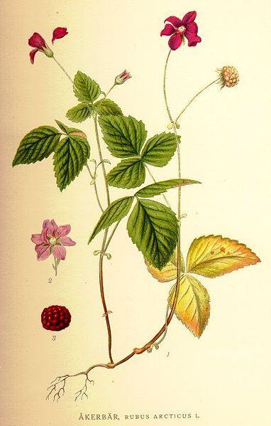 arctic raspberry - nagoonberry - similar to cloudberry - native to Alaska, Norway & Sweden