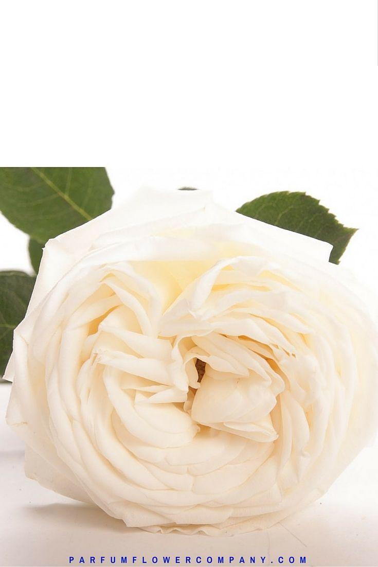 Жанна Моро Роуз, также известный как Белый Perfumella розы.  Meilland Jardin и др Парфюмированная коллекция 012