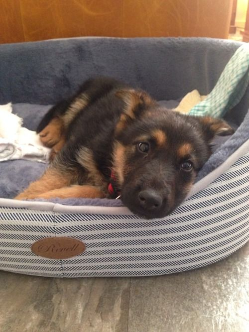 I could swear Ruby has some GSD in her despite what the DNA test say. This is her face and her eyes haha.