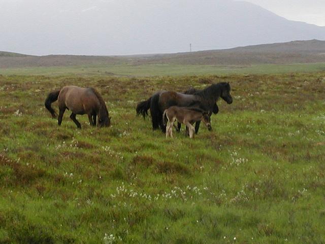 Island by Flygstolen, via Flickr #Island #Iceland #Norden #Nature #Natur #Travel #Resa #Resmål #hästar #icelandic #tölt #Islandshästar #Horse