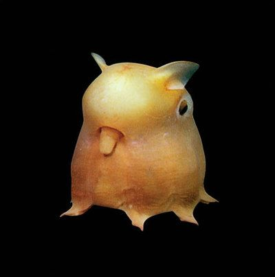 Dumbo Octopus. Rarest octopus, living at extreme depths. Largest one ever recorded was 6 feet long.