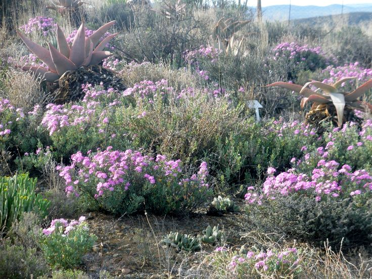 Behind our cottages the koppie comes alive in purple