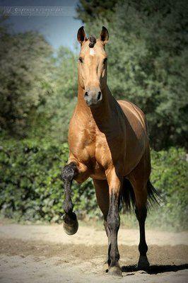 Lusitano stallion Cavalheiro