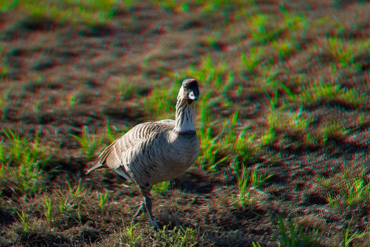 "3D image of endemic Hawaiian goose or "" nene "" Nesochen sanvicensis ( endangered ) Big Island of Hawaii"