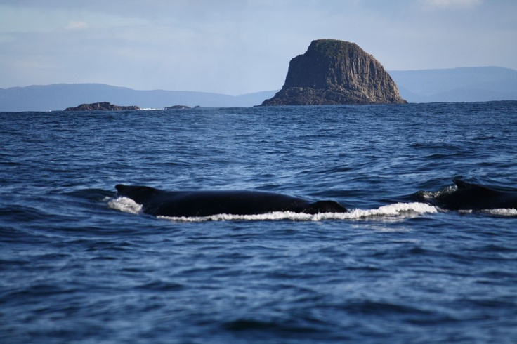 Humpback Whales near the Friars, Bruny Island