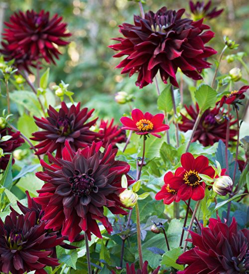 The absolute richest and most sublime dark dahlias which I love to grow each year. Get yours today!