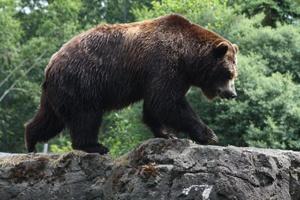 """OSOS Qué hacer en caso de ver un oso: - Mantén la calma, no entres en pánico. - Mantente alejado y lleva a niños y mascotas adentro lentamente. - Nunca te acerques y no te alejes corriendo. - Advierte a otros de su presencia pero sin gritar. - Llama al """"Conservation Officer Service"""" al 1-877-952-7277 o a la policía local."""