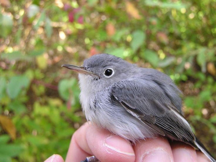 HEATHER: a blue-grey Gnatcatcher.