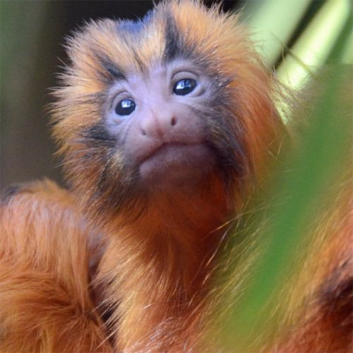 These Baby Zoo Animals Will Make Your Heart Explode With Joy. Baby Orange Tamarin.