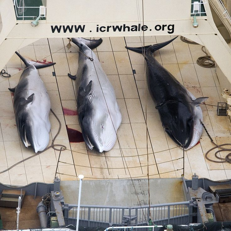 Japan Is Back to Killing Whales in the Name of Research | VICE News