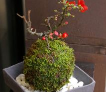 苔玉(こけだま)や盆栽・苔盆栽・観葉植物などグリーンのお店:みどり屋 和草(にこぐさ)