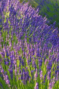 Lavender 'Hidcote'. Not only is this gorgeous, but it can be used for sachets. If you can't have a filed of Lavender as in France, then just have one or two to make you smile. And what fragrance!