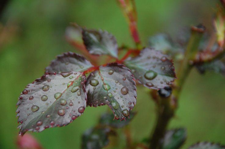 leafs #1