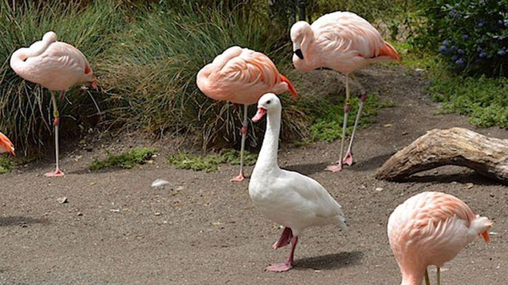 8 kacsa, aki flamingónak képzeli magát - vicces fotók