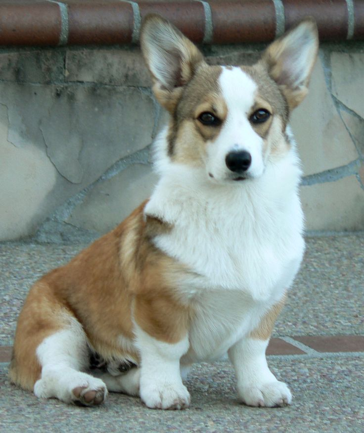 Noble Hearts Pembroke Welsh Corgi Breeder Puppies for sale