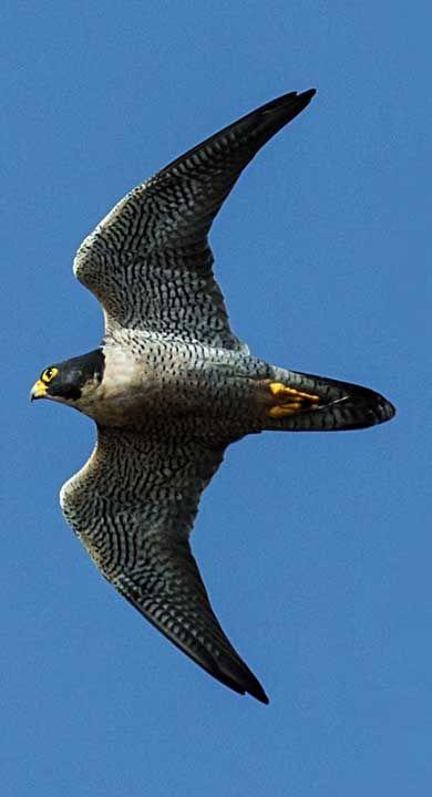 Falco Pellegrino (Falco peregrinus) in volo #uccello #rapace