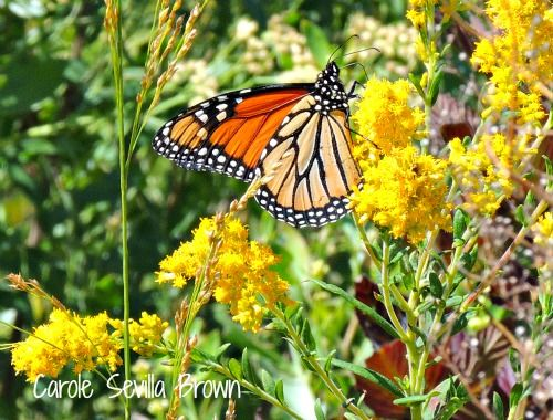 A butterfly enjoying the beautiful Cape May weather in the Triangle Point Butterfly Garden #gardens #wildlife