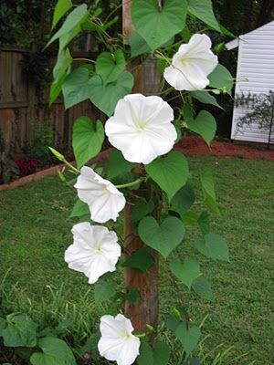 moon flower vine, the flowers only last one night but are beautiful and fragrant