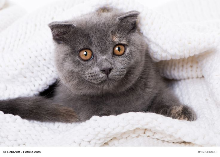 ★ Der Steckbrief über die beliebte Katzenrasse Schottische Faltohrkatze mit Bildern, allen Informationen zur Rasse, dem Wesen und der Herkunft. ★