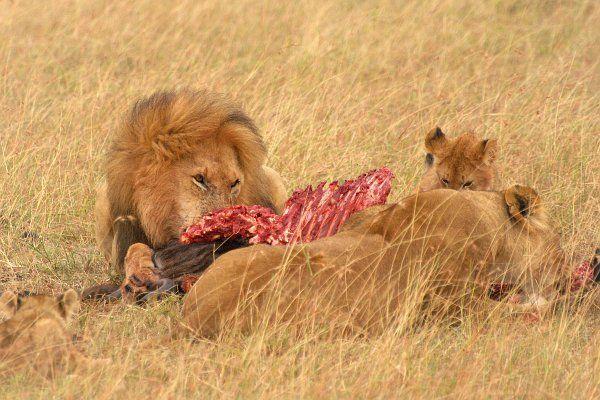 Kenya, lion, hunter,  lion on Masai Mara