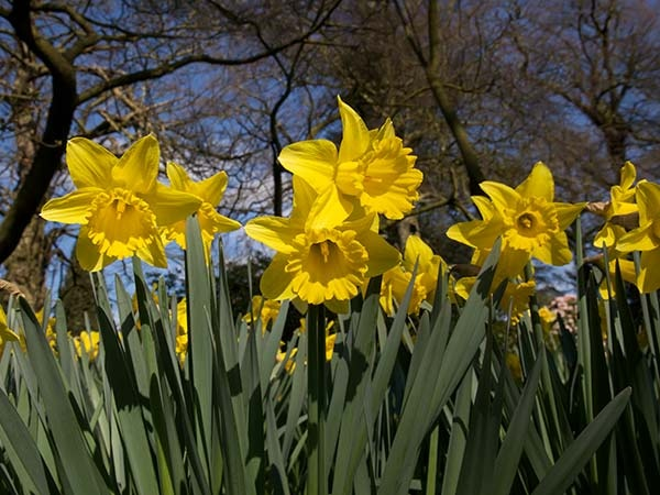 13 best woodland garden images on pinterest woodland garden daffodil fandeluxe Choice Image