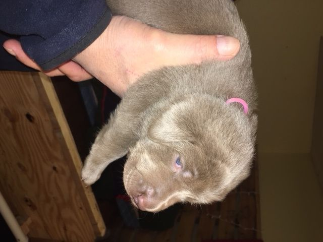 Litter Of 6 Labrador Retriever Puppies For Sale In Traverse City