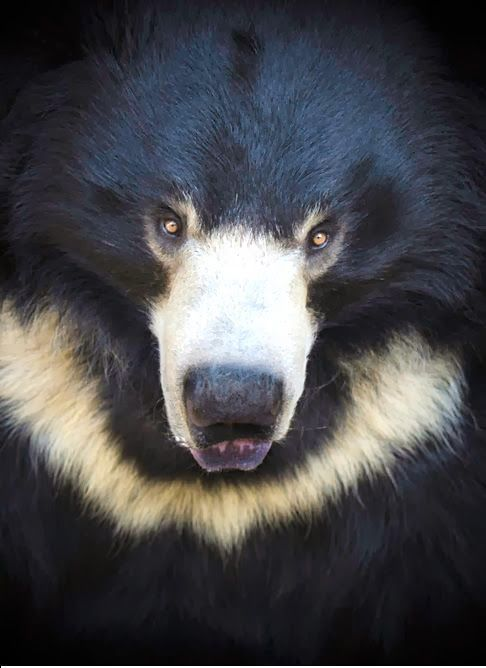 Beautiful Asian Black Bear.....  have you ever seen before this ...now i have 2 new bears I love!   the Spectacled Bear and this beauty!
