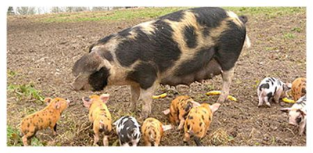 gloucestershire hog images - Google Search